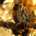 My Celebrity Life – The show proved how bees can talk to one another in fascinating scenes Picture BBC